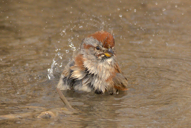 American Tree Sparrow | Bird Bath at River's Edge