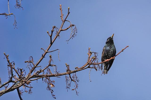 Starling (Sturnus vulgaris) ©