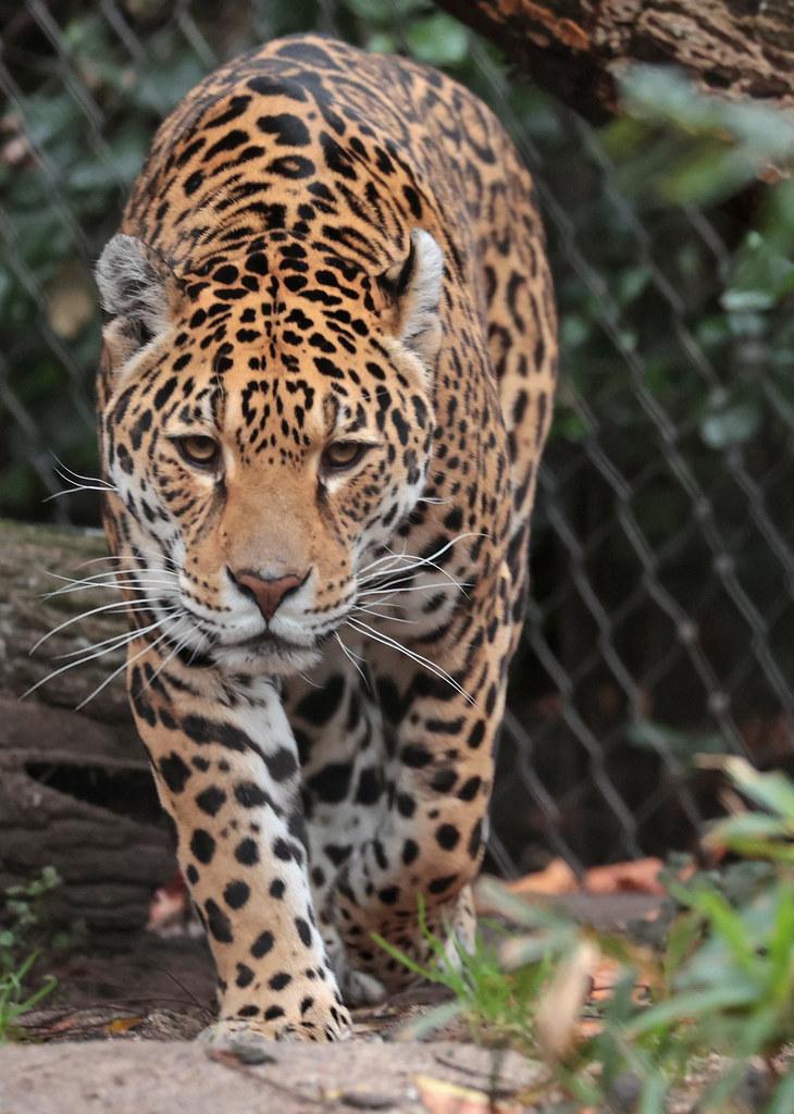 jaguar rica artis 9K2A7705