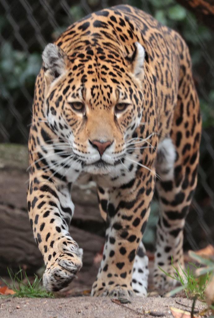 jaguar rica artis 9K2A7707