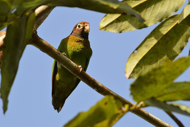 Brown-hooded Parrot (Pyrilis haematotis)