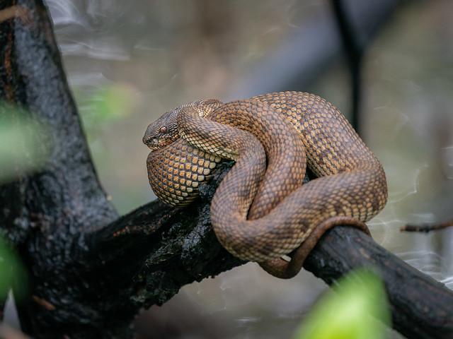 Shore Pit Viper [explore]