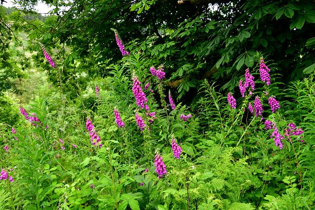 180708 Noord-Ierland - Giants Causeway - 12 Glenariff Forest 1067