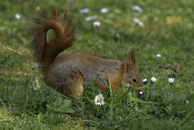 a red squirrel smelling a flower - un écureuil roux qui sent une fleur