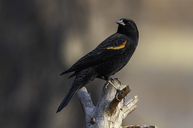 Red-winged Blackbird (Agelaius phoeniceus) Male