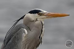 Héron cendré - Ardea cinerea - Grey Heron : IMG_4986_©_Michel_NOEL_2021_Lac-Creteil