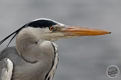 Héron cendré - Ardea cinerea - Grey Heron : IMG_4971_©_Michel_NOEL_2021_Lac-Creteil