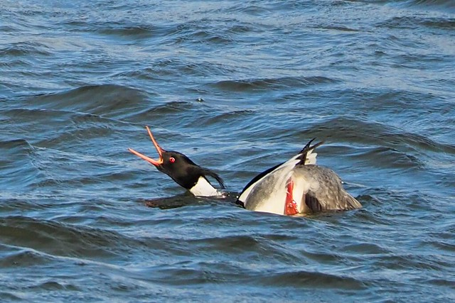 Angry Red-Breasted Merganser 1