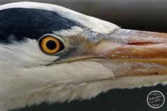 Héron cendré - Ardea cinerea - Grey Heron : IMG_4961_©_Michel_NOEL_2021_Lac-Creteil