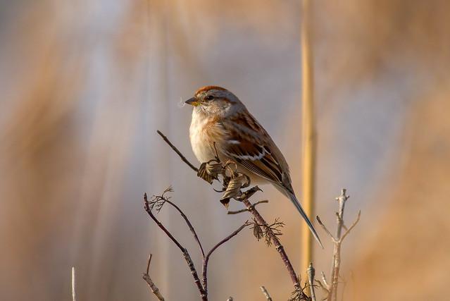 American Tree Sparrow | Creamy Bokeh