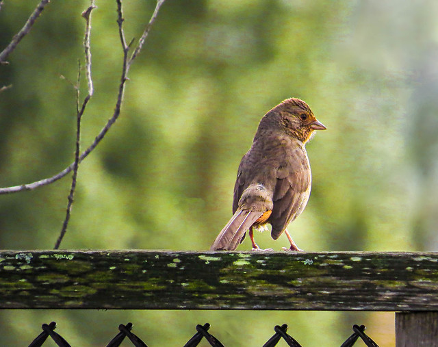 California Towhee in early morning light