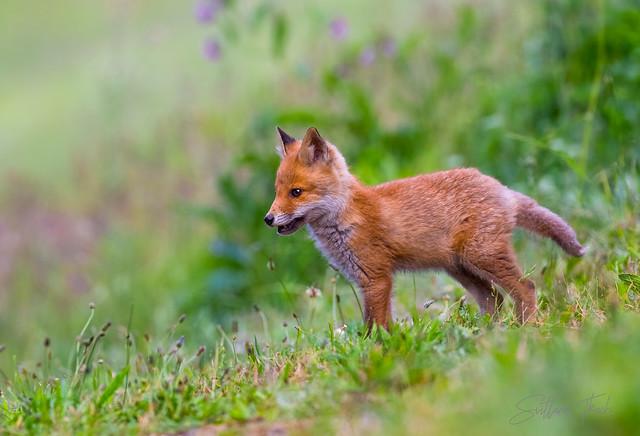 Red fox kit_Explored 17 Januar 2021