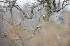 Green Woodpecker - Grünspecht