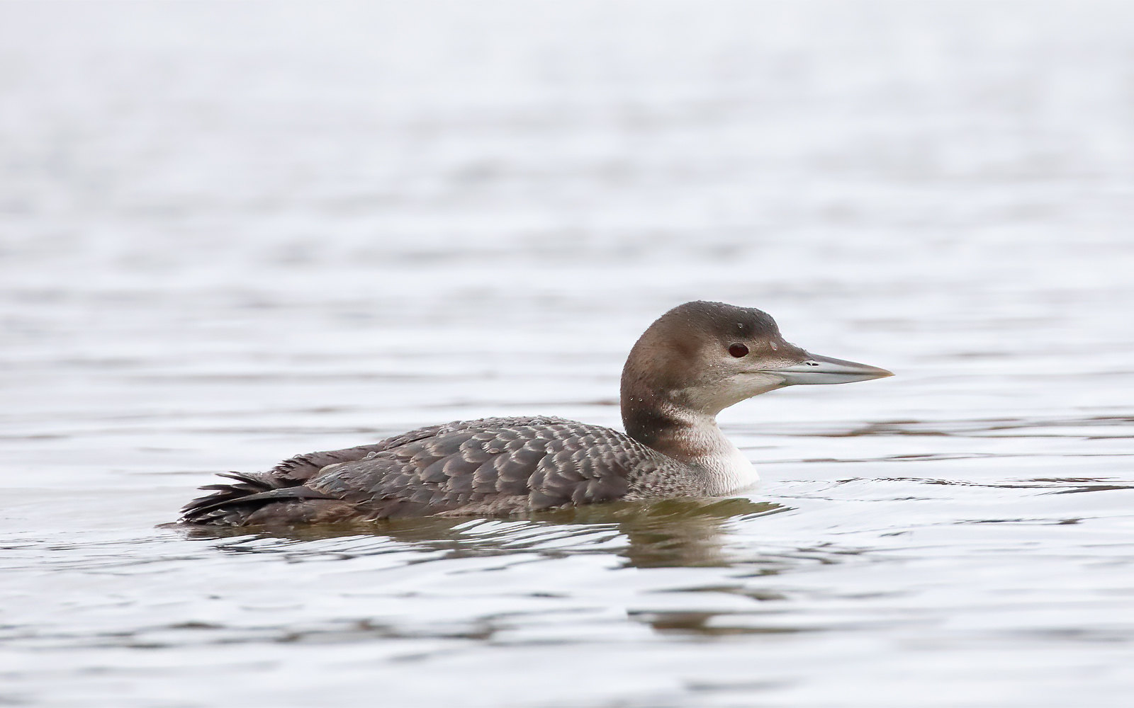 Great Northern Diver - Juvenile
