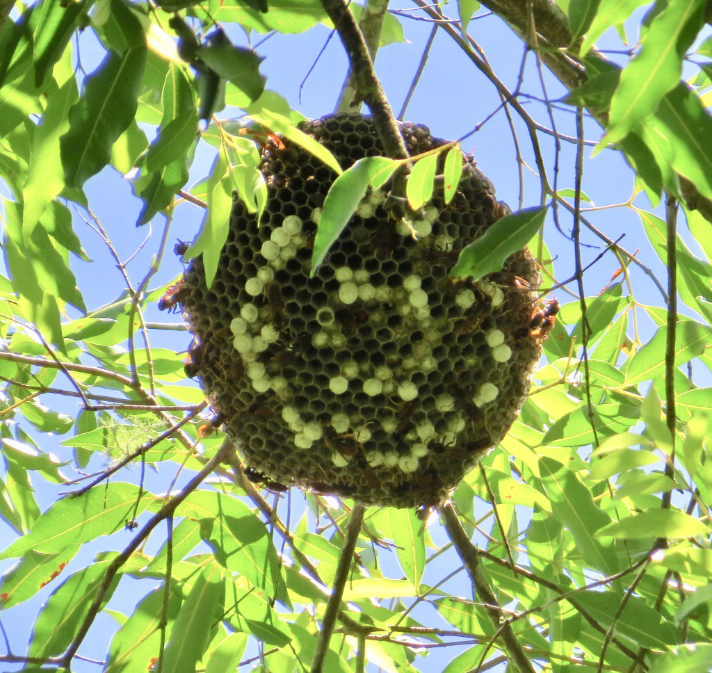 Polistes - Umbrella Wasp
