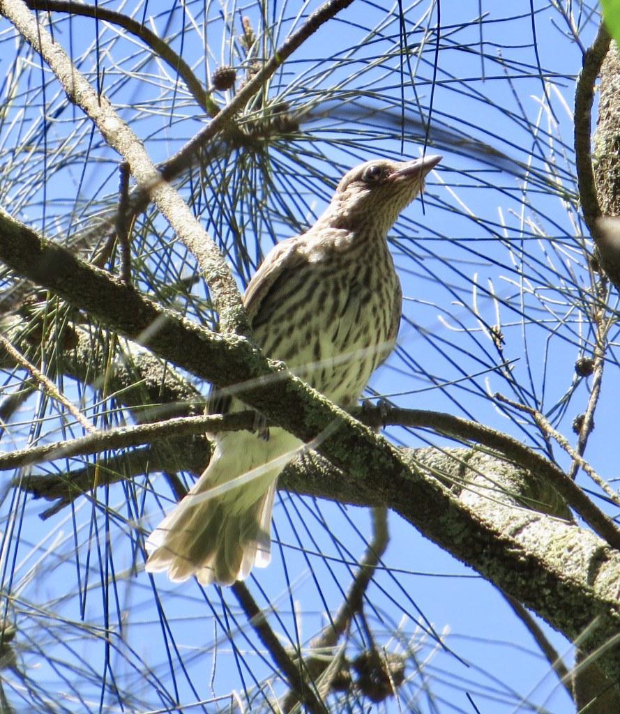 Sphecotheres vieilloti vieilloti - Eastern Australasian Figbird