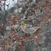 Pine Grosbeak (Pinicola enucleator)
