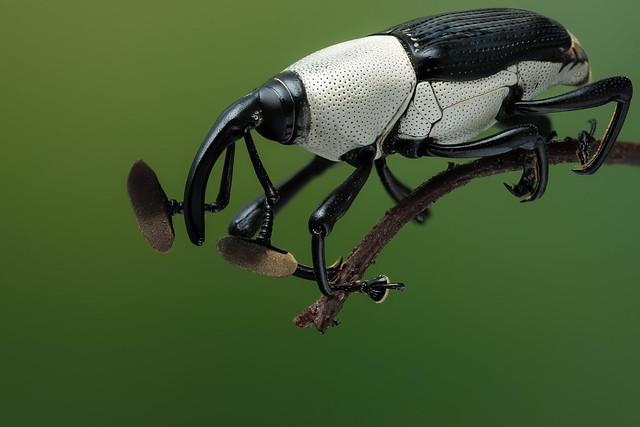 Cercidocerus albicollis