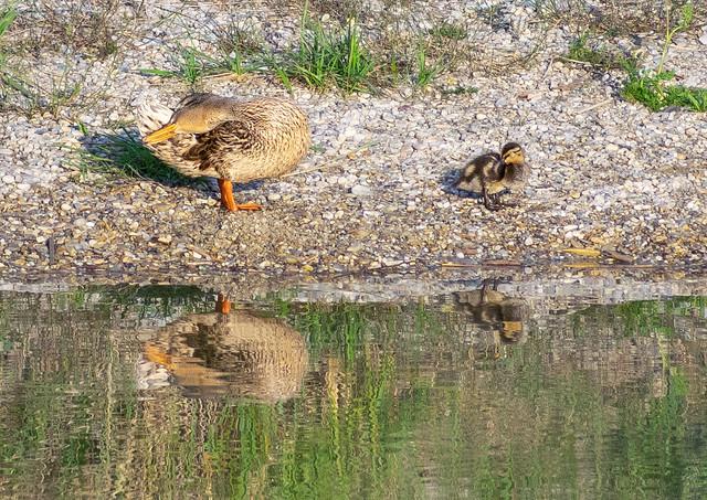 Sleepy Ducks Summer With Reflections On Sea
