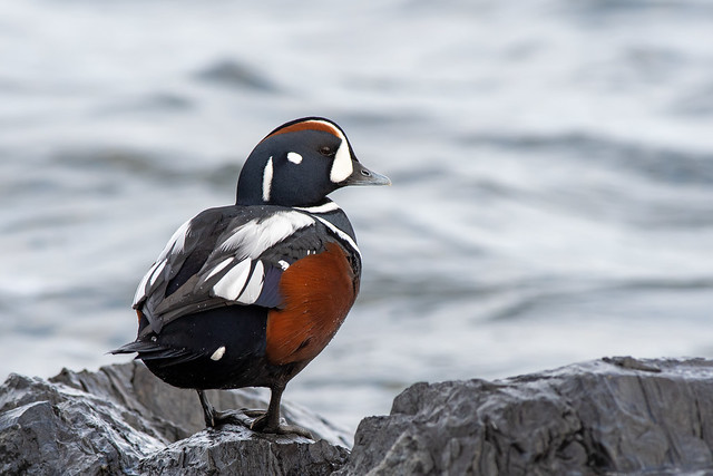 Male Harlequin Duck looking back