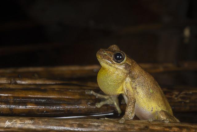 Tylers Tree Frog