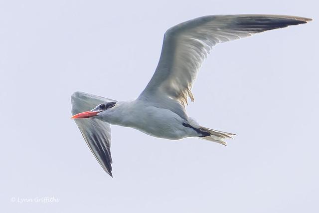 Royal Tern 502_5863.jpg