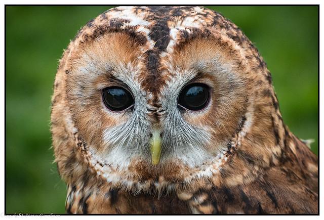 Twany Owl Portrait