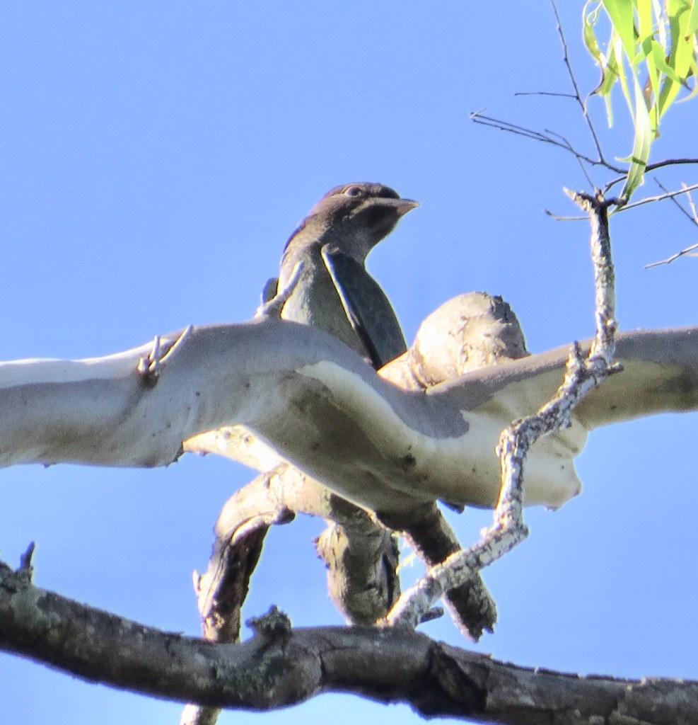 Eurystomus orientalis pacificus - Eastern Dollarbird (juv)