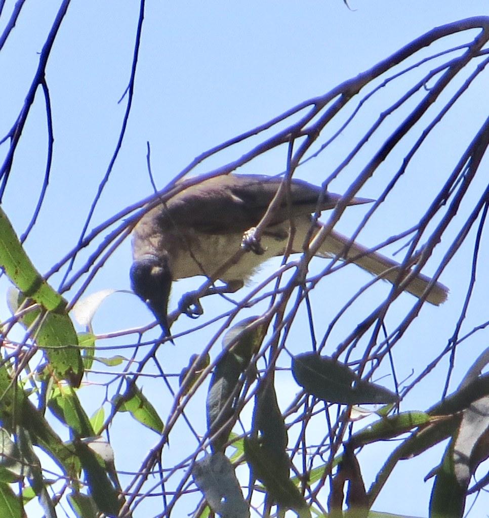 Philemon corniculatus monachus - Southern Noisy Friarbird