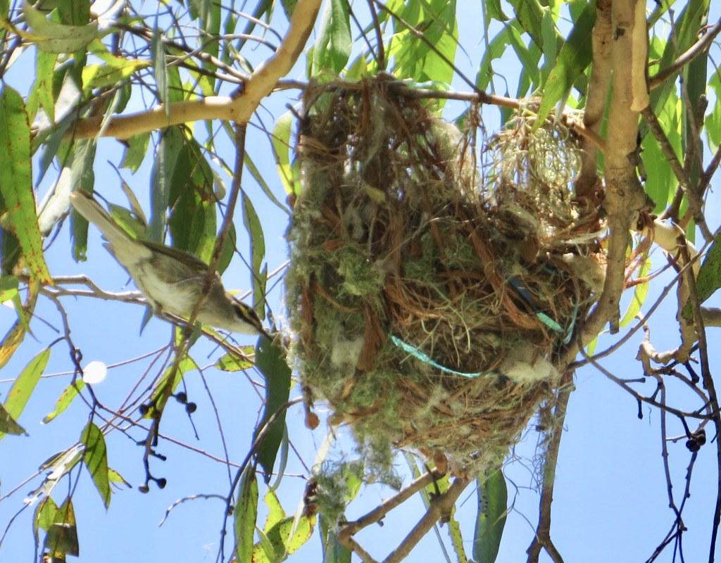 Caligavis chrysops chrysops - South-eastern Yellow-faced Honeyeater (nest)