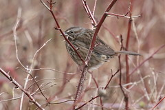 *Song Sparrow (subspecies rufina/caurina) - Tower Point, Victoria BC