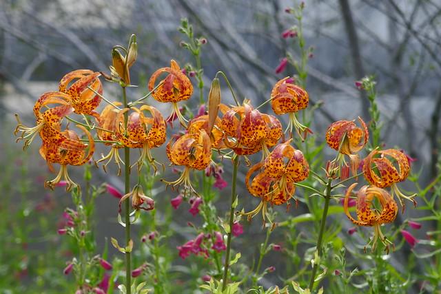 Lilium humboldtii, California & Baja California