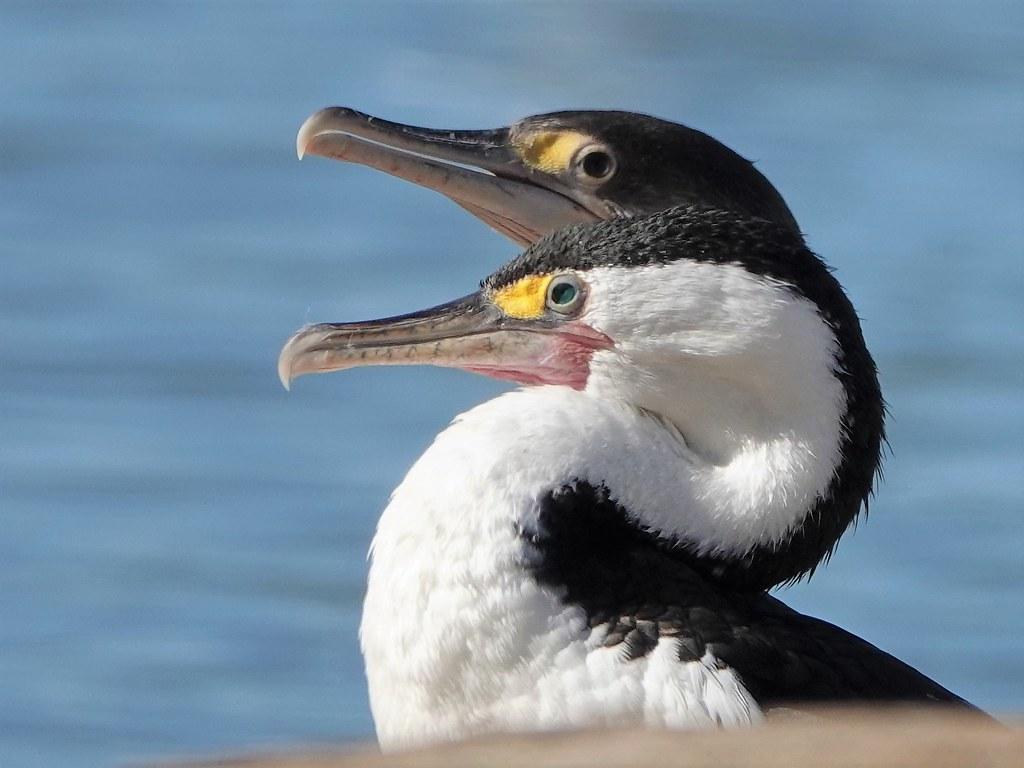DSC02646 - Cormorants in Thames, NZ