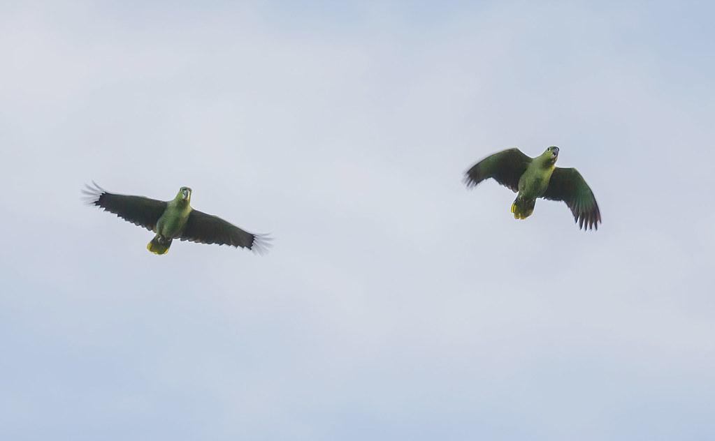 Mealy Parrots (Amazona farinosa)
