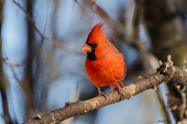 ♂ Cardinal Rouge - Northern Cardinal - Cardinalis cardinalis