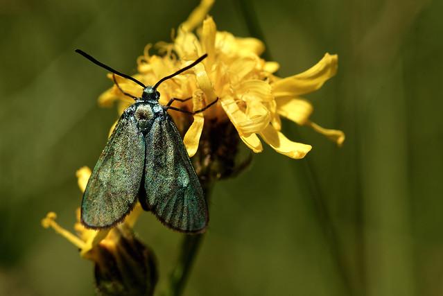 Zygène turquoise(Adscita statices)