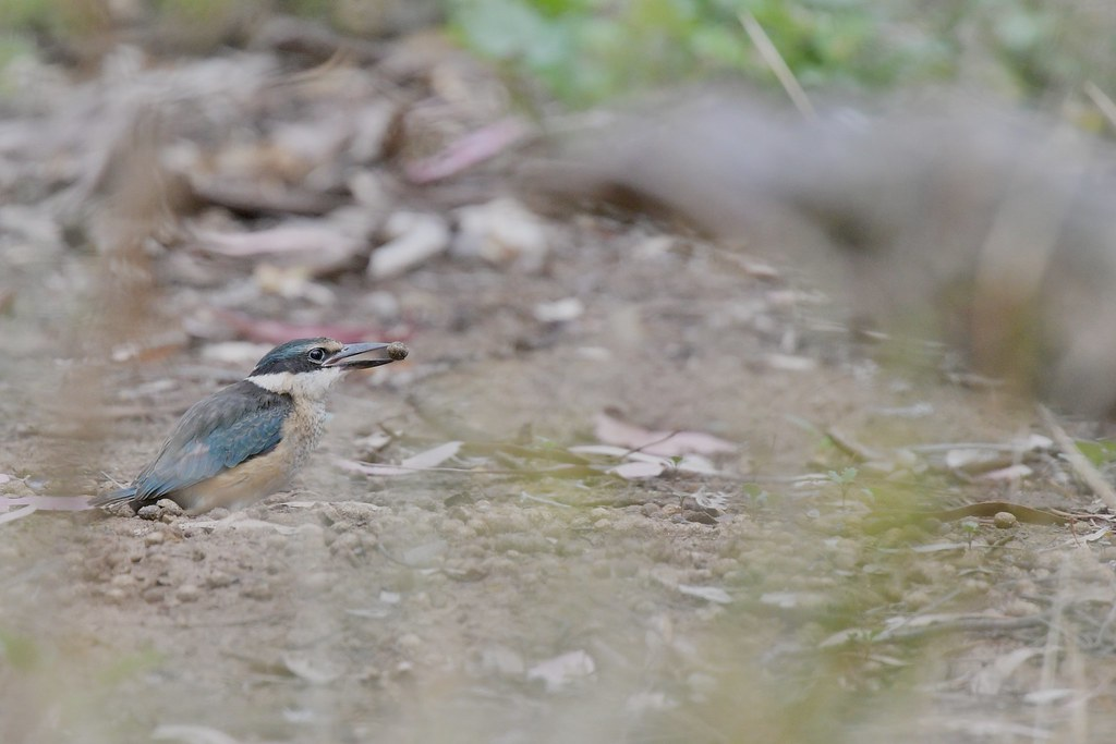 Sacred Kingfisher  ( learning what is food and what is not )