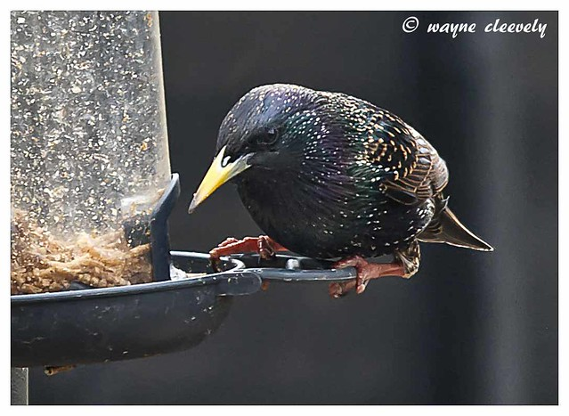 A1 Starling