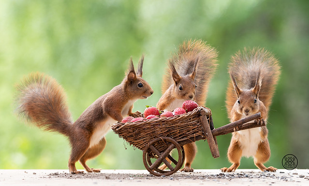 red squirrels holding an wheelbarrow with Strawberries
