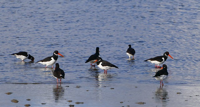 Oystercatches -Haematopus ostralegus-Bramble Bush Bay Poole Dorset(1)