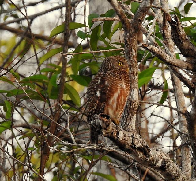 Asian Barred Owlet In Kaeng Krachan National Park - Thailand