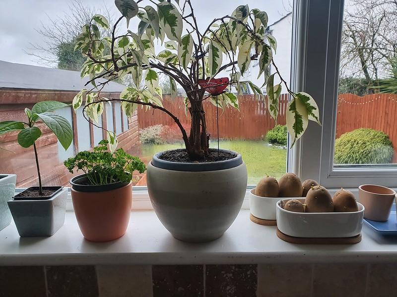 Potatoes chitting on the windowsill mark the start of the 2021 growing season!