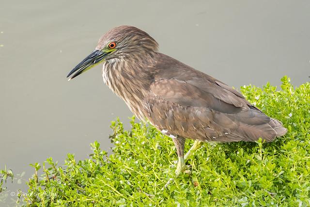 Juvenile Black-Crowned Night heron 502_3540.jpg
