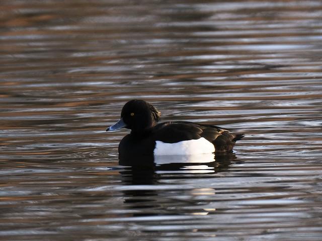 Tufted duck in Olsbæksøen in Greve, Denmark