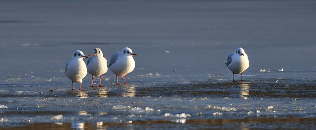 Black-headed gulls on the ice