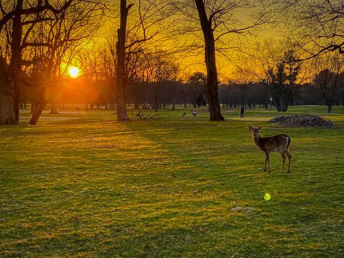 sterling virginia unitedstates deer algonkian golf course winter sunset va orange green golfcourse fairway animal yellow sun dusk park nova