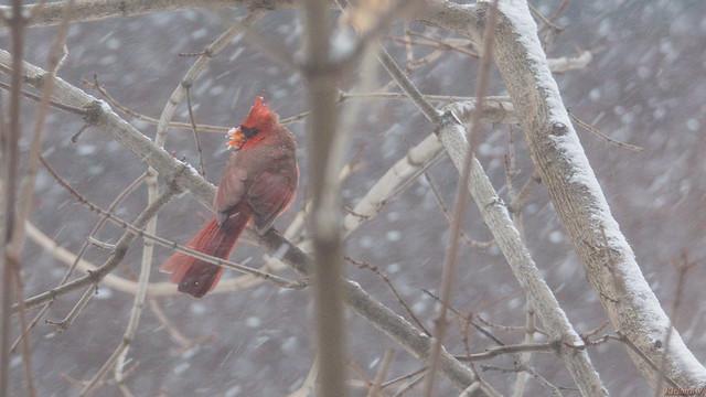 Tempête de neige, snow storm, Cardinal rouge - Northern Cardinal - Québec, PQ, Canada - 2389