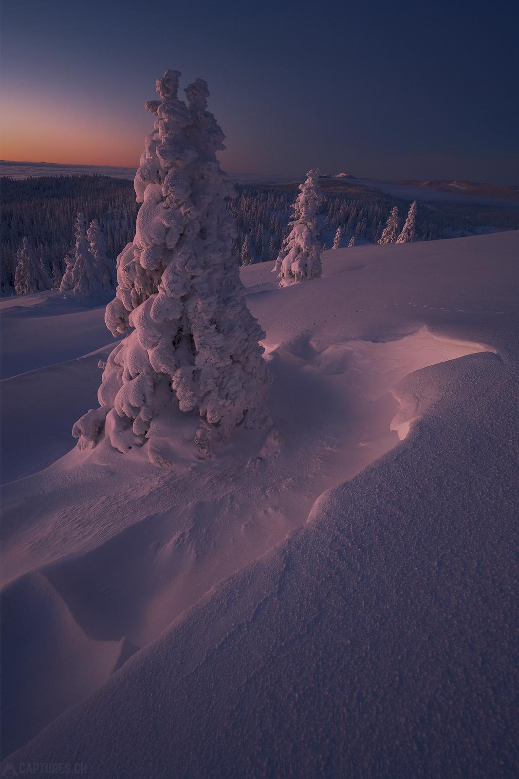 Monring glory tree - Jura
