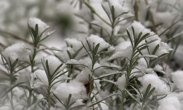 Lavender Meets Winter