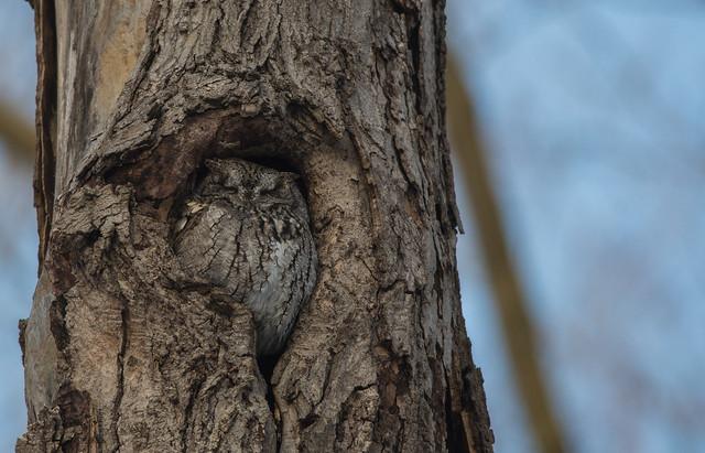 Petit duc maculé/Eastern Screech Owl--PM4_8979